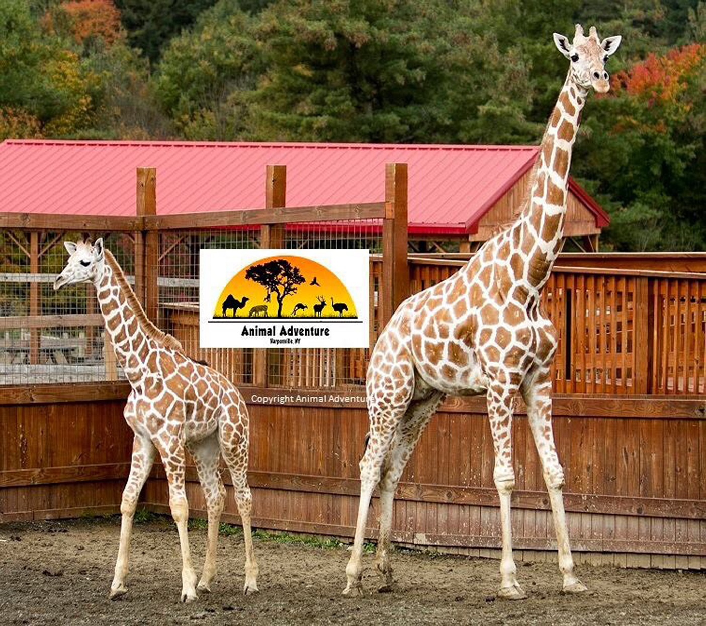 April the Giraffe Going on Birth Control Several Months After Giving Birth to Fifth Calf