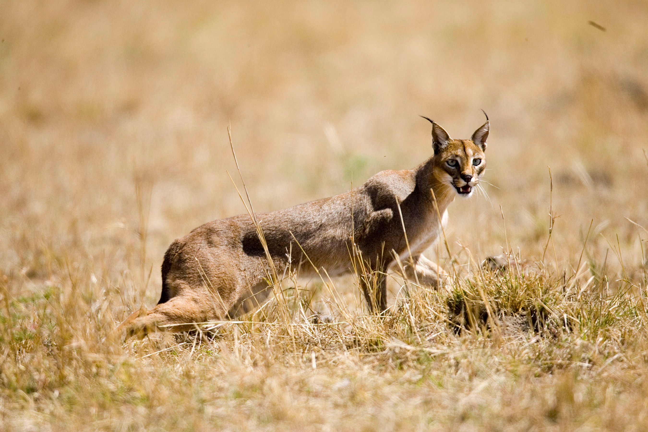 Wild Caracal Walking