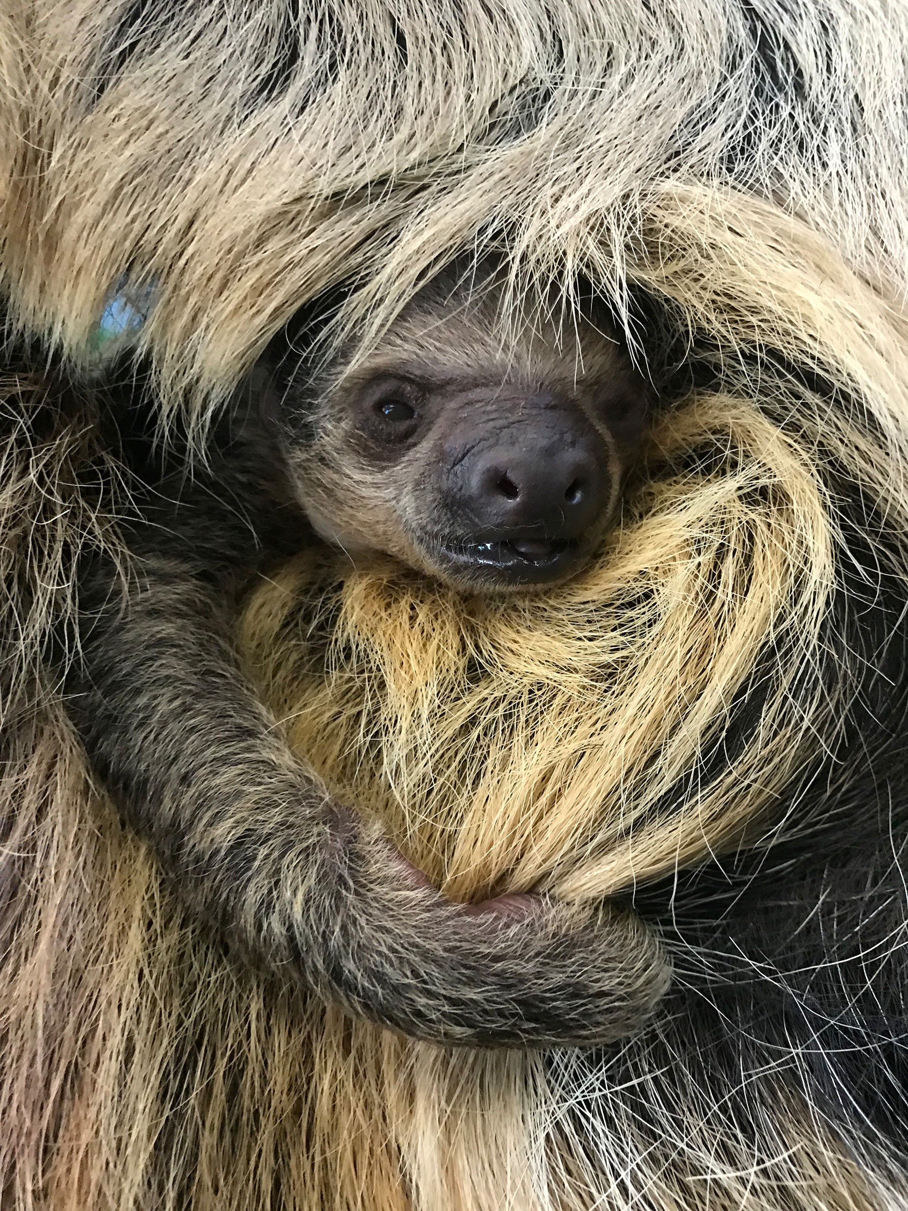 'Bright and Active' Baby Sloth Born at New England Zoo