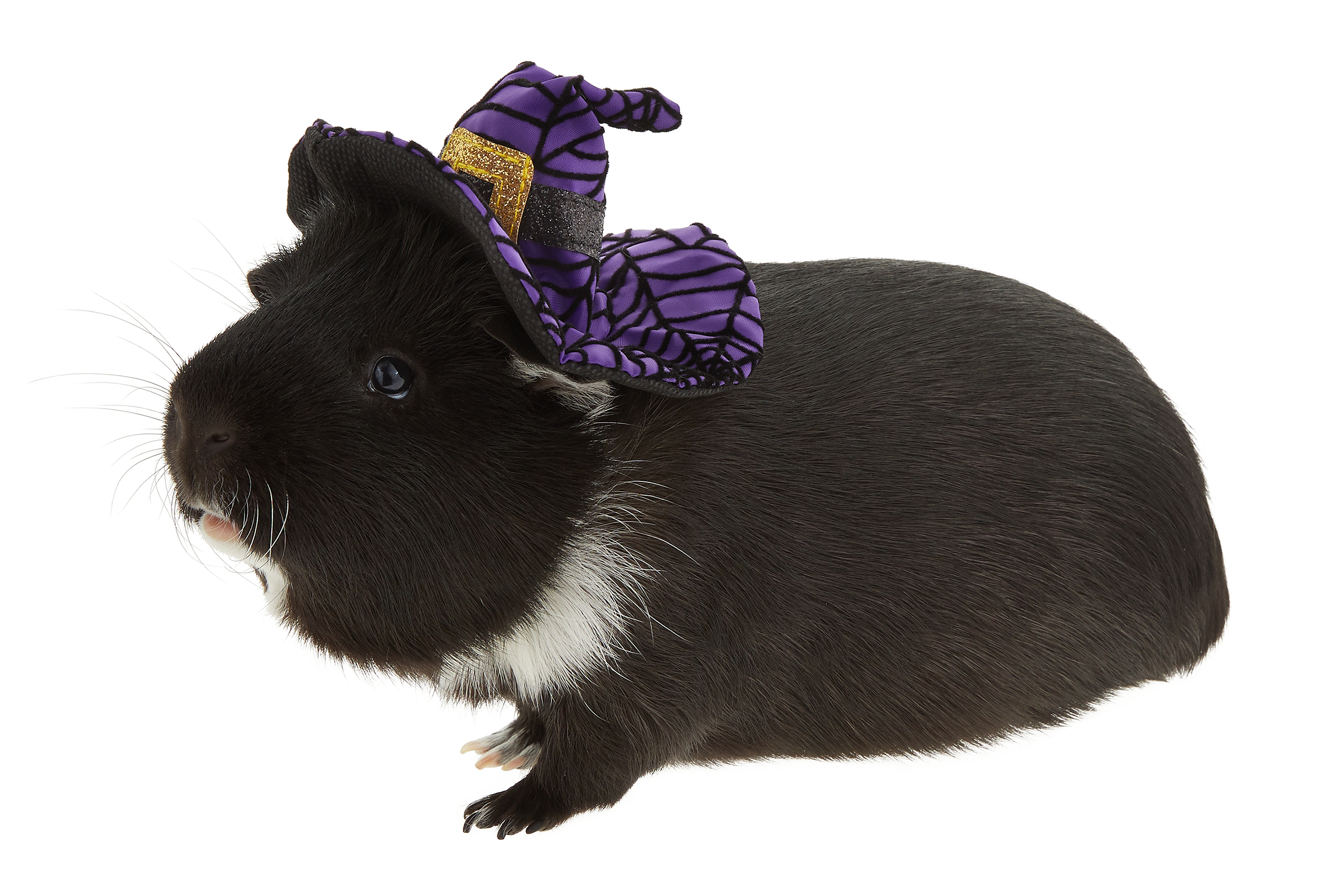 Guinea pig Halloween costumes Witch Hat