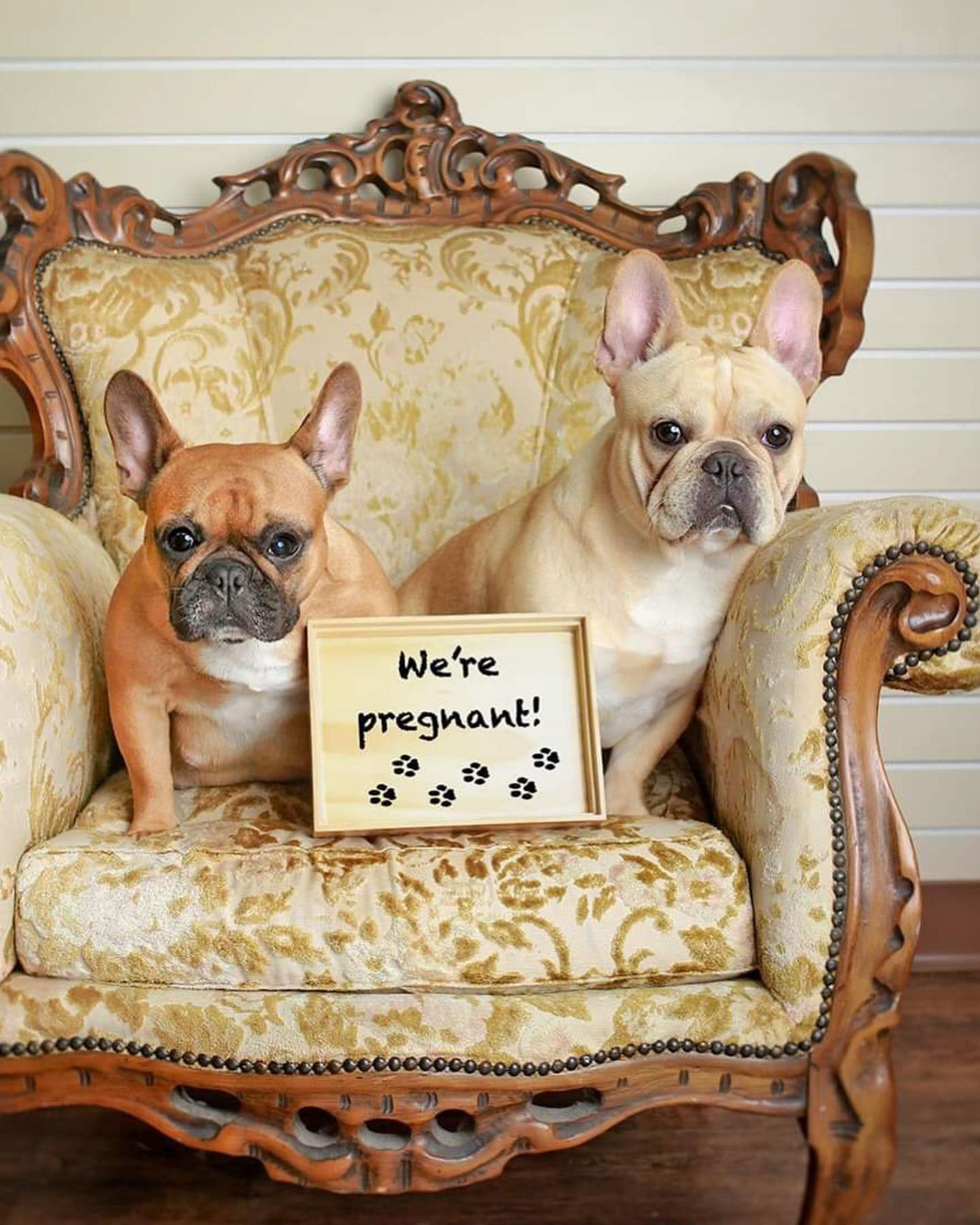 Texas French Bulldog Couple Poses for Maternity Shoot to Prepare for Puppies