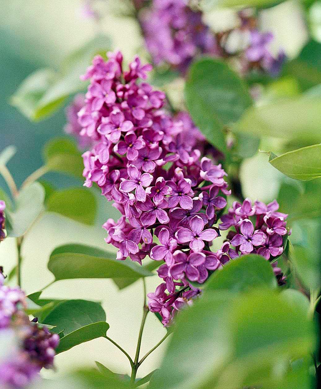 Popular lilacs