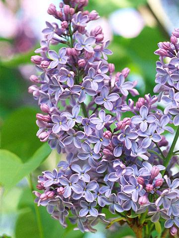 Blue lilacs
