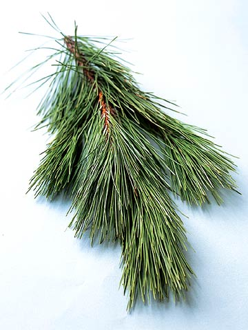 Norway (Red) Pine