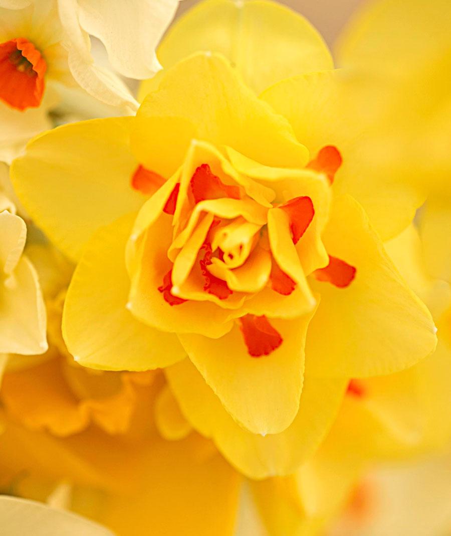 "Great Midwest daffodils: ""Tahiti"""
