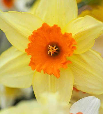 'Fortissimo': midspring blooms