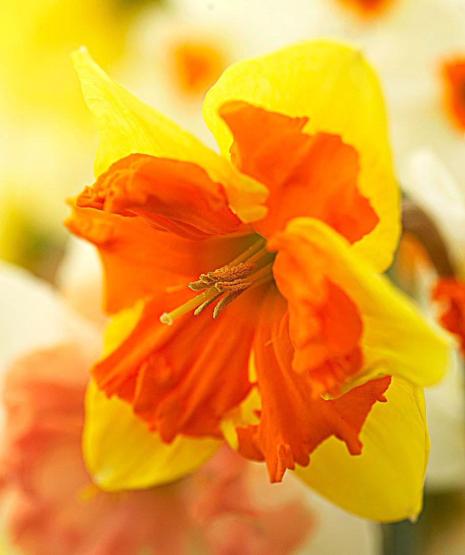 'Mondragon': yellow-orange split