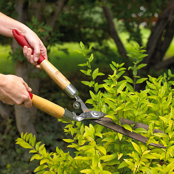 Do I have to prune my shrubs?