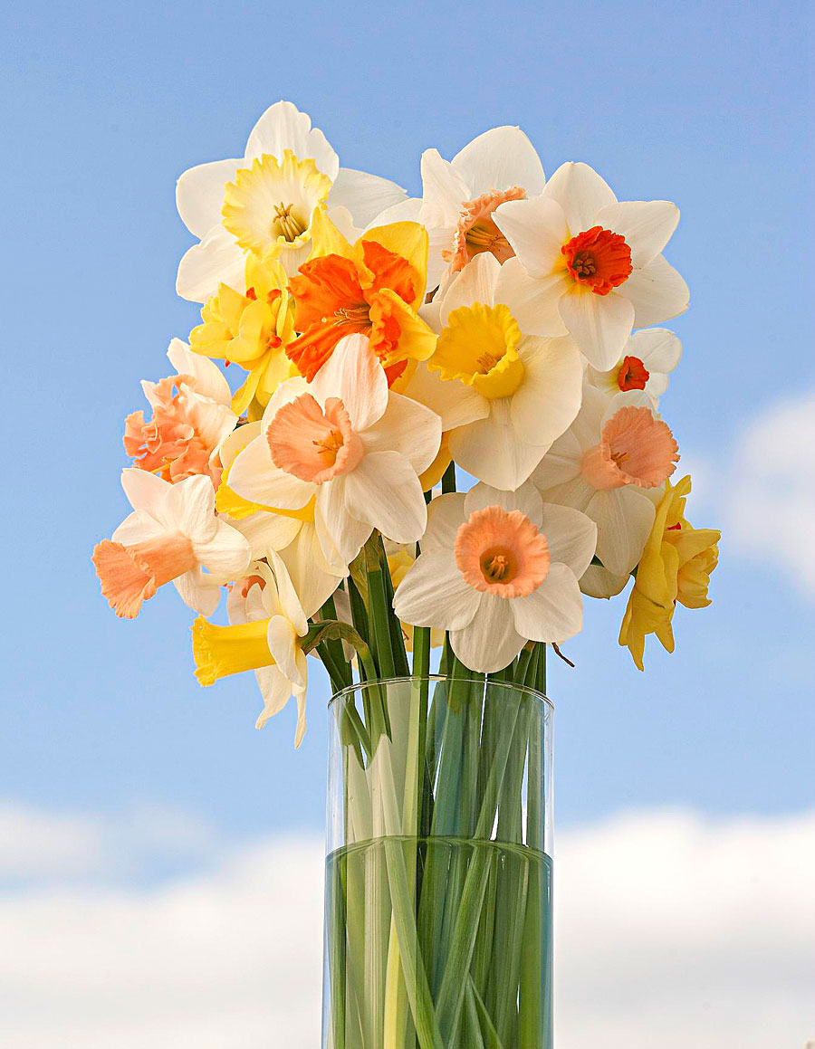 Daffodil buying sources