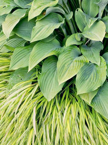 Hosta and 'Aureola' grass