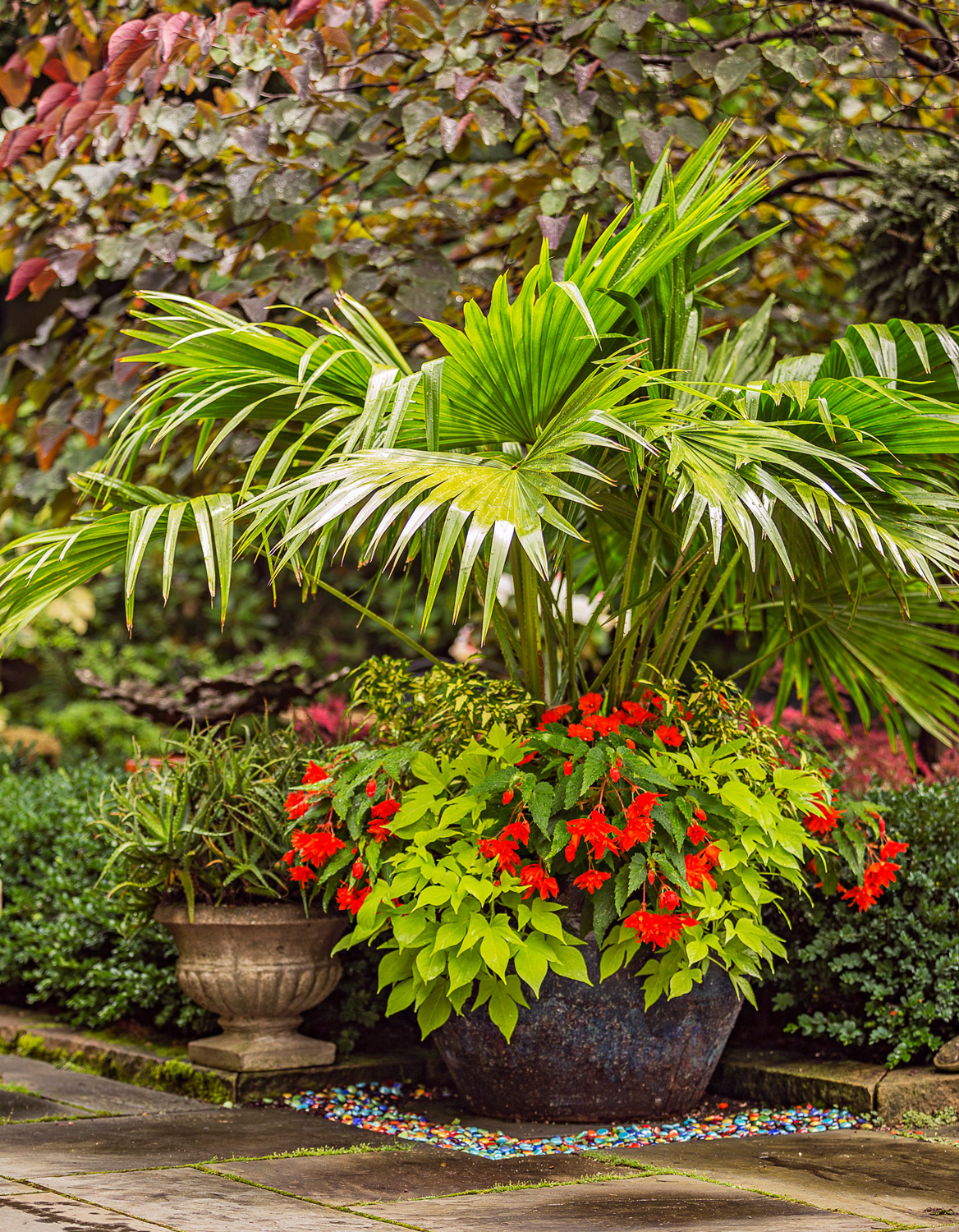 Chinese fan palm container garden