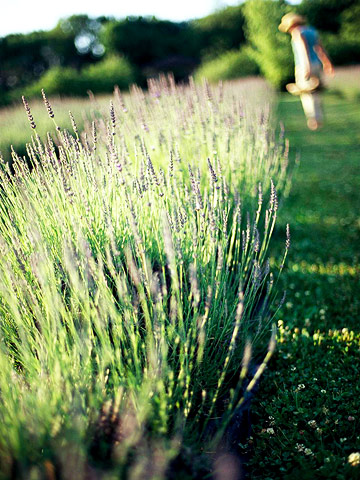Give lavender space, mulch and water