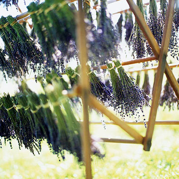 Harvesting and drying lavender