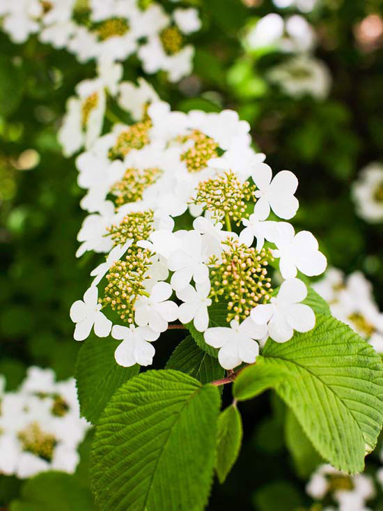 Woodland spring sampler: Japanese Snowball Bush