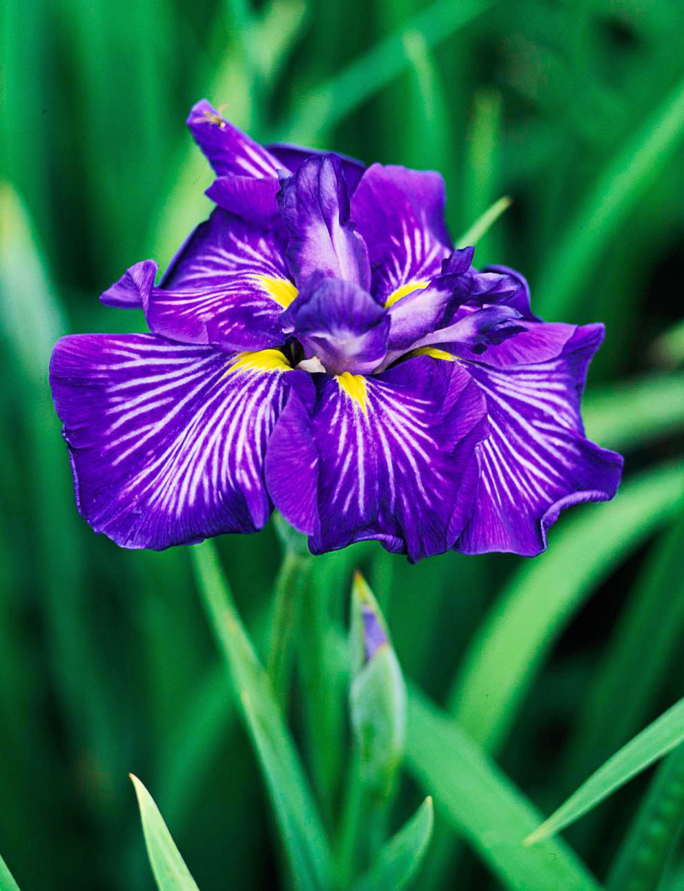 Ordering irises