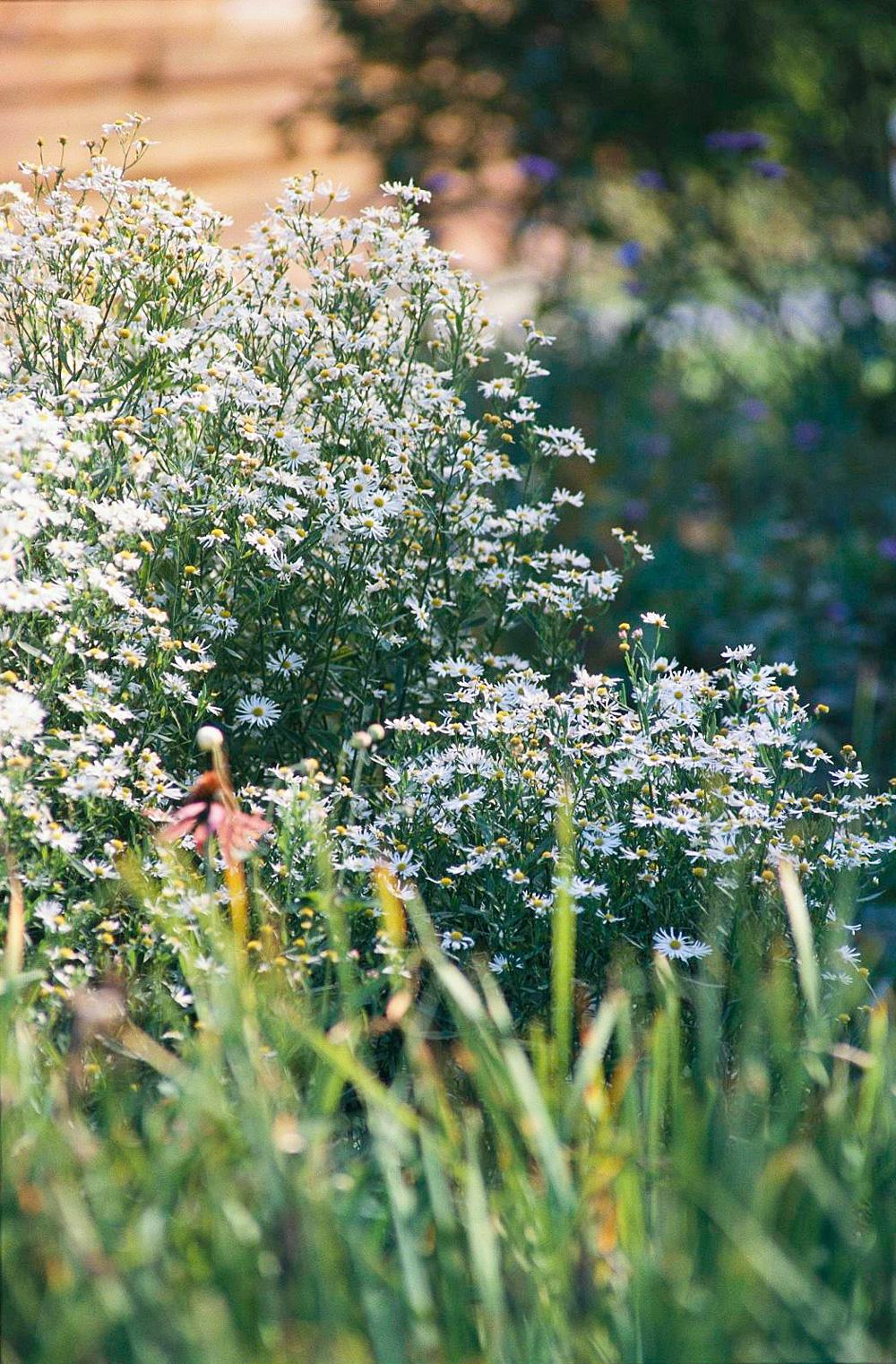 Boltonia, an underused perennial