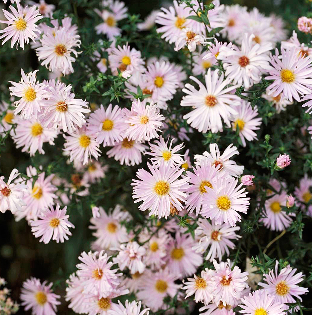 Spiky asters