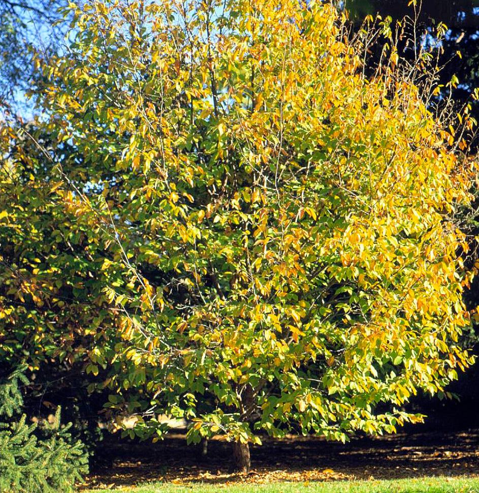 Hophornbeam: handsome foliage