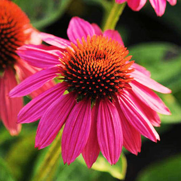 Showstopping coneflower