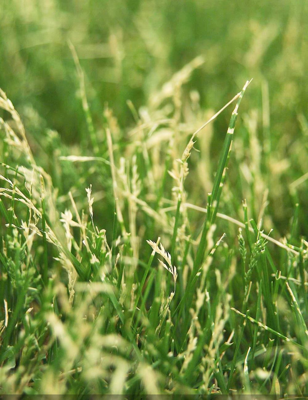 #8: Let grass go dormant