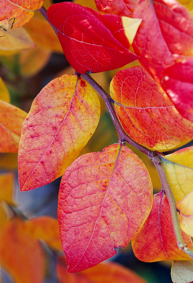 Fast-growing fall color