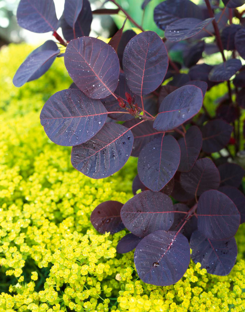 Purple: Smoke bush