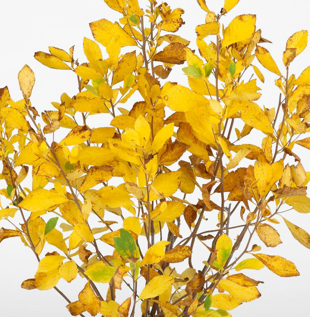 Yellow: Summersweet and Solomon's seal