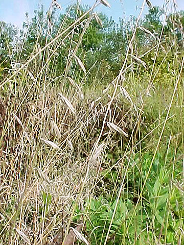 Yellow-brown: Sideoats grama