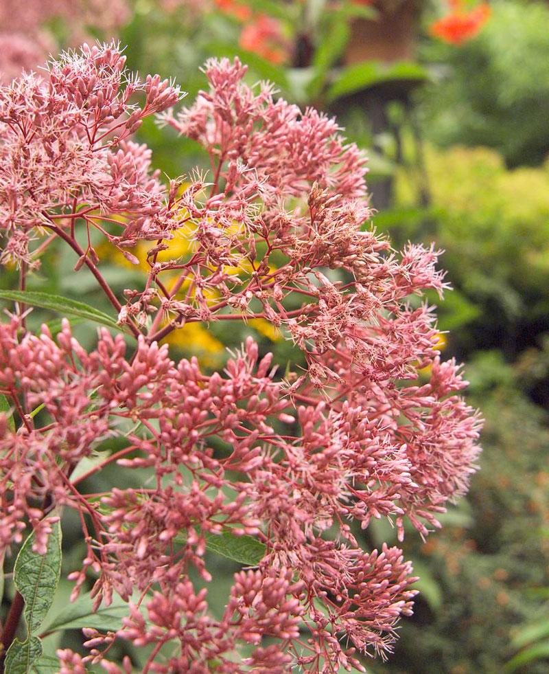 Joe Pye weed (Eupatorium maculatum)