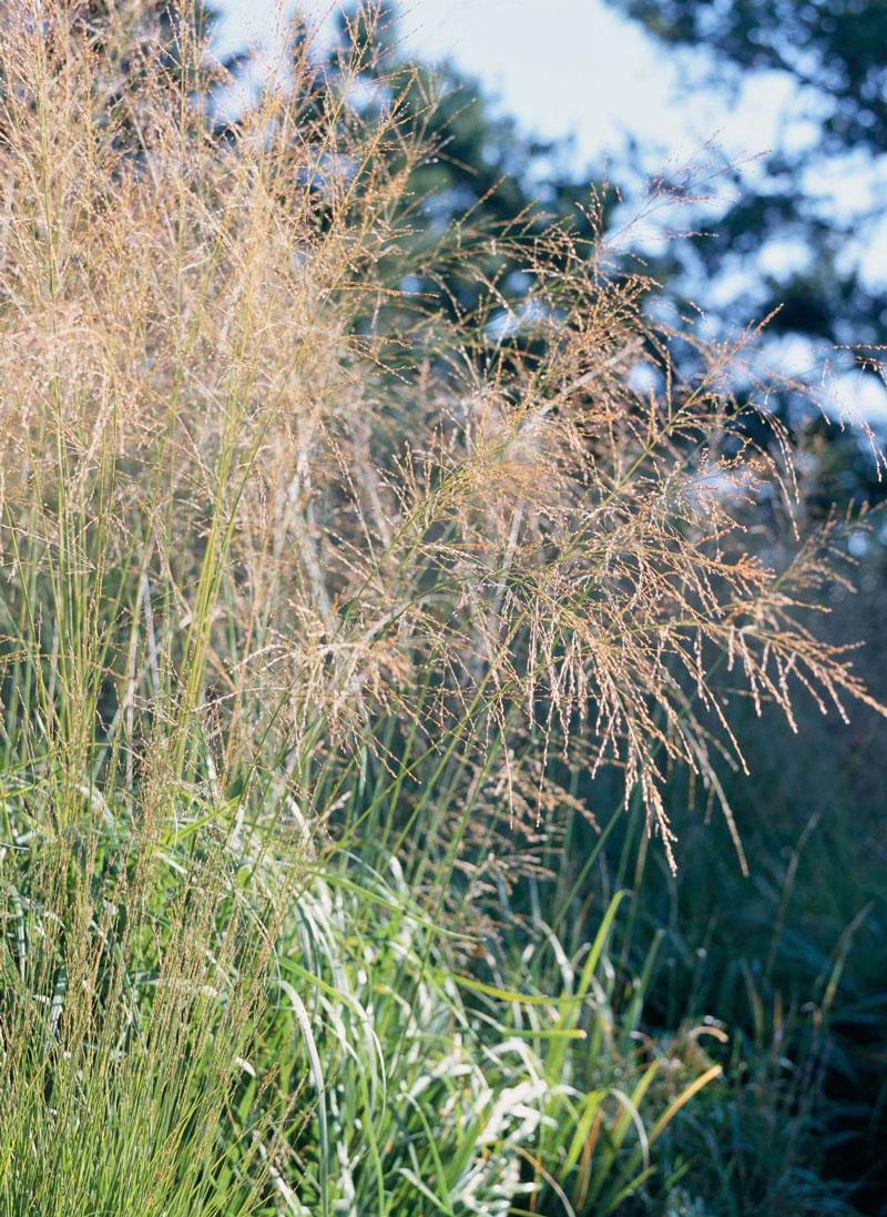 Switchgrass (Panicum spp.)
