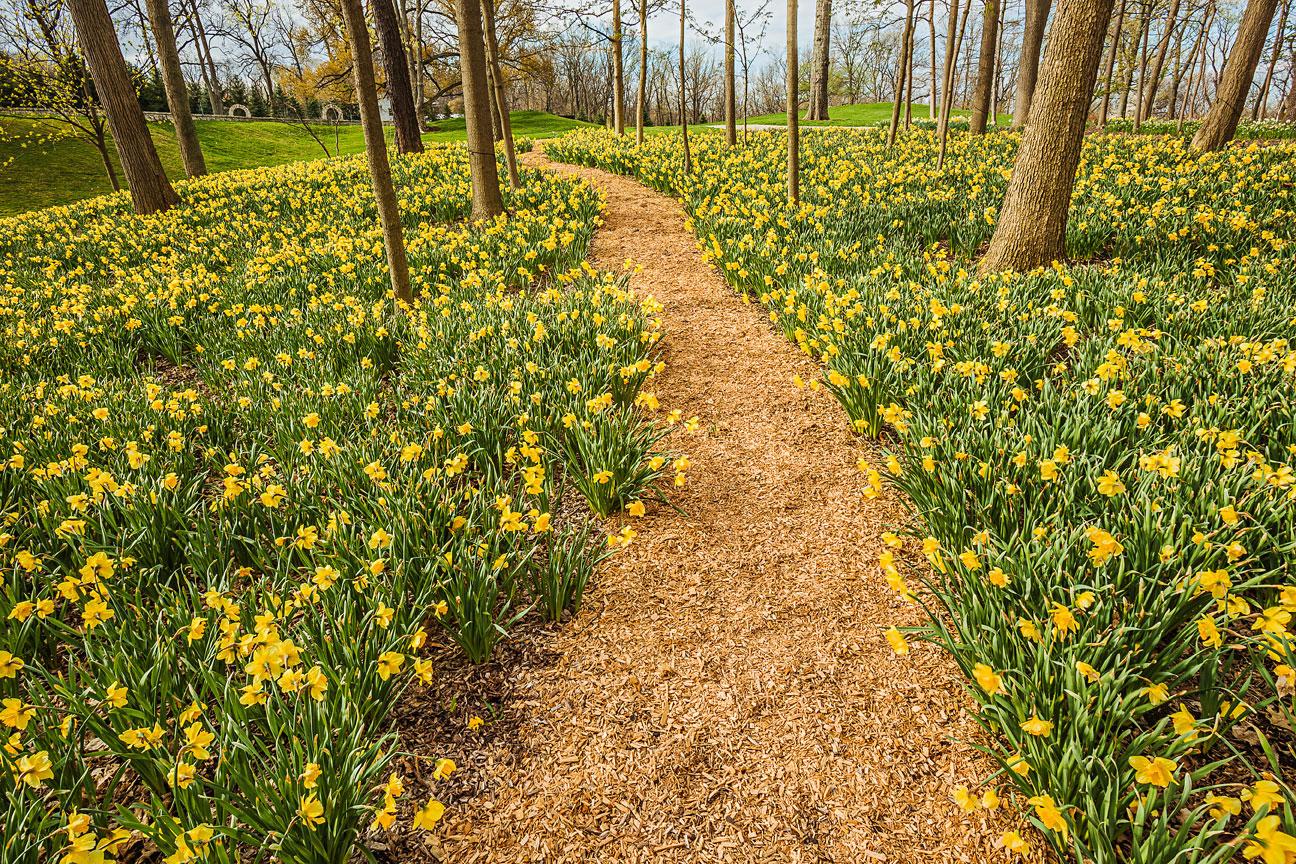 Daffodil details