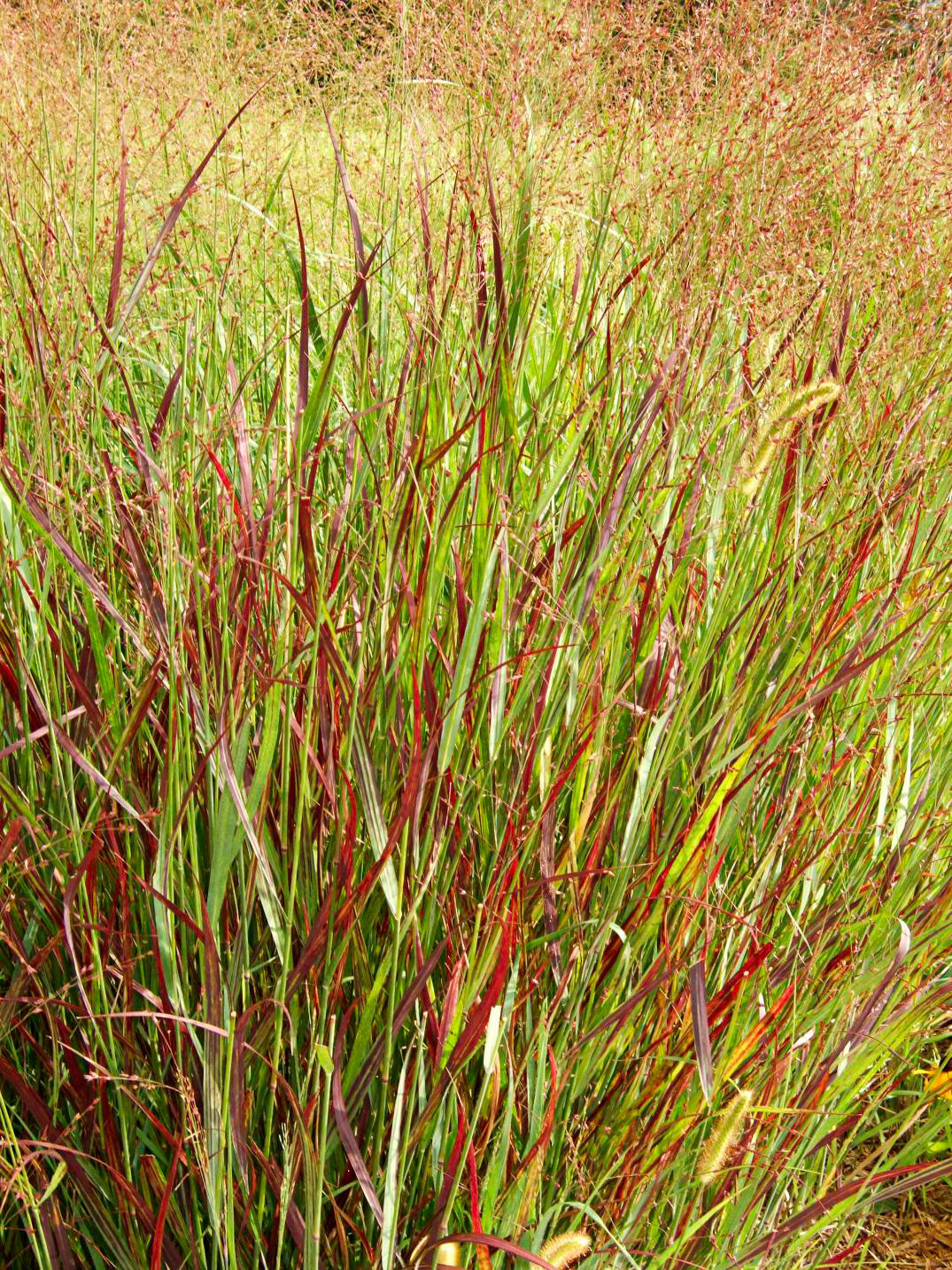 Switchgrass