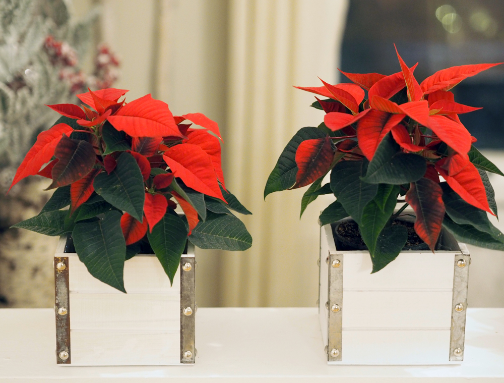 Poinsettias in boxes