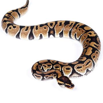 ball-python_iStock_000018327976Small.jpg