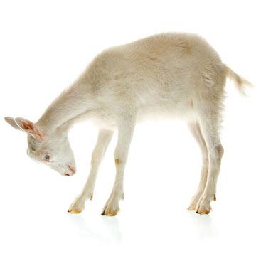 goat_iStock_000016783040Small.jpg