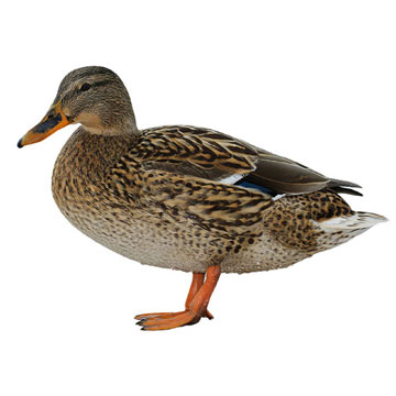 duck_iStock_000014964731Small.jpg