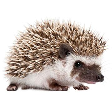 hedgehog_istock.jpg