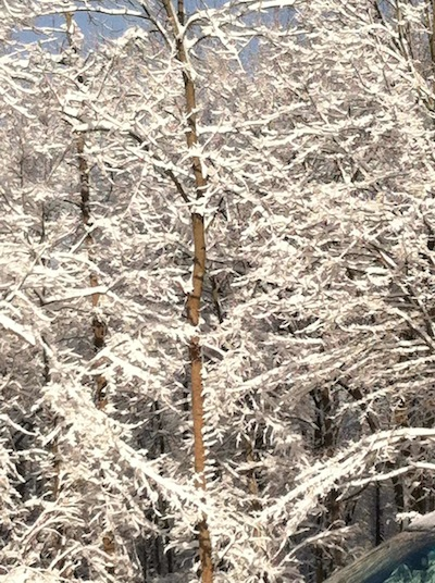 snowtrees1.jpg