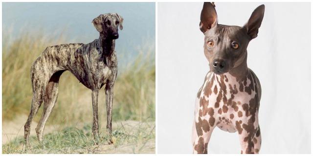 AKC new dog breed.jpg