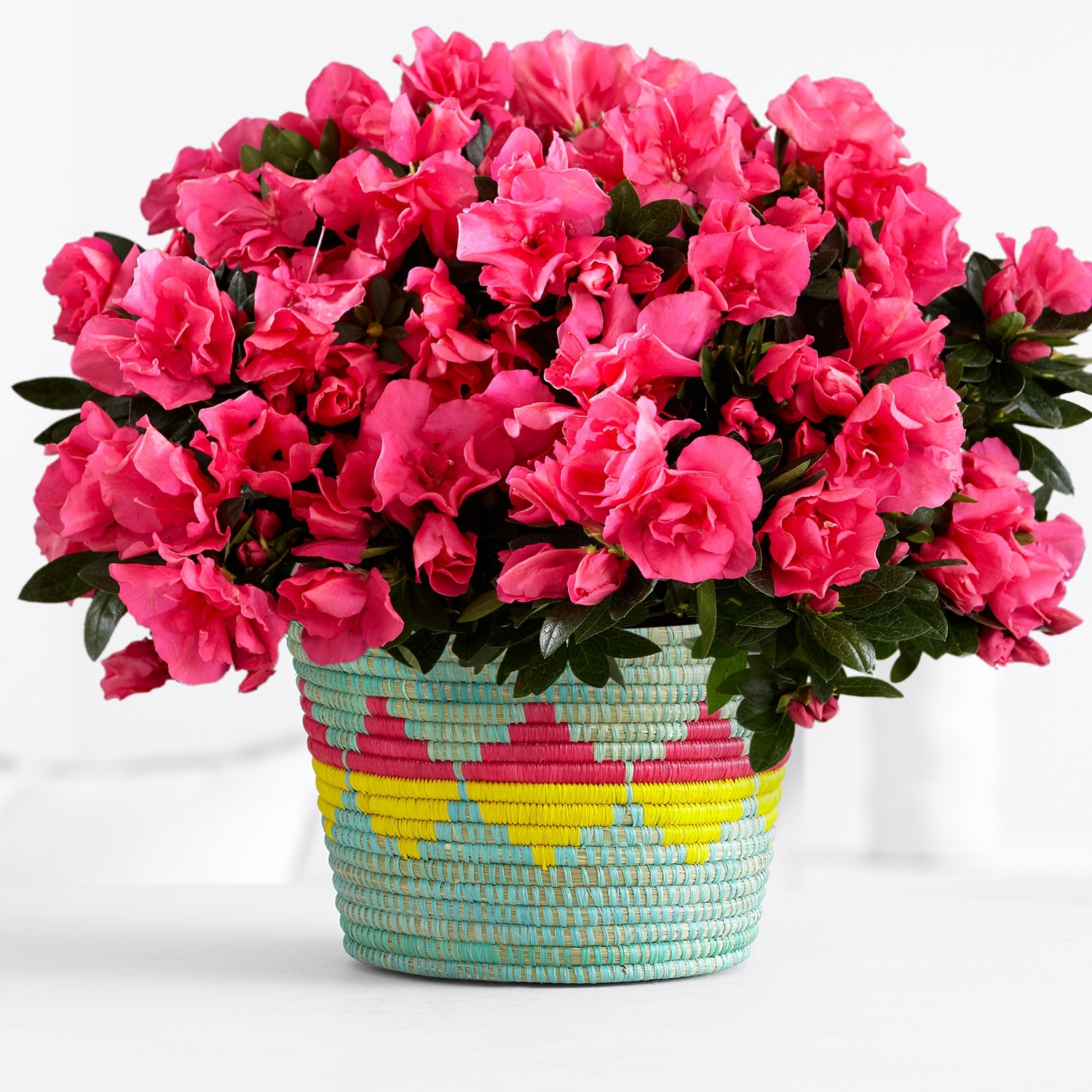 PP_16_PLA410_Plant-with-Pink-Azalea-copy.jpg