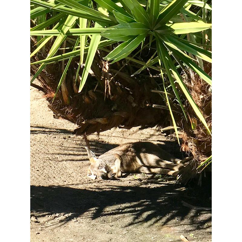 Baby kangaroo sleeping