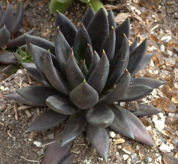 Black Succulents Are Trending and They're Perfect for Halloween