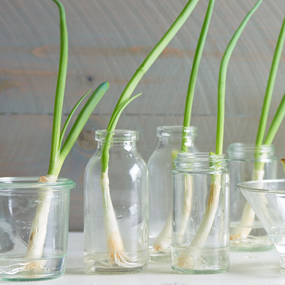 scallions growing in glasses