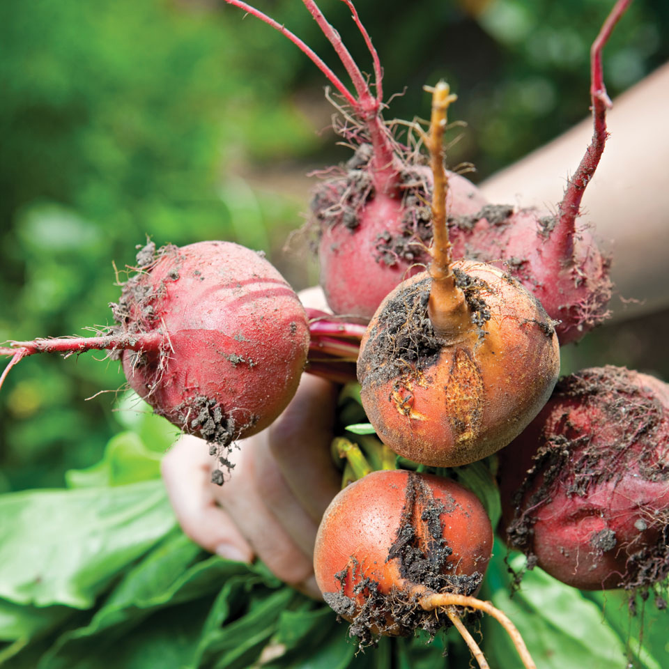 beets root vegetables freshly pulled from garden