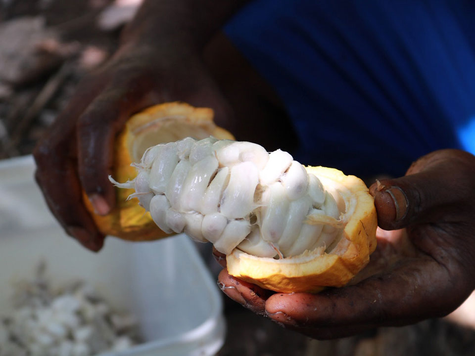 hands holding opened cacao fruit