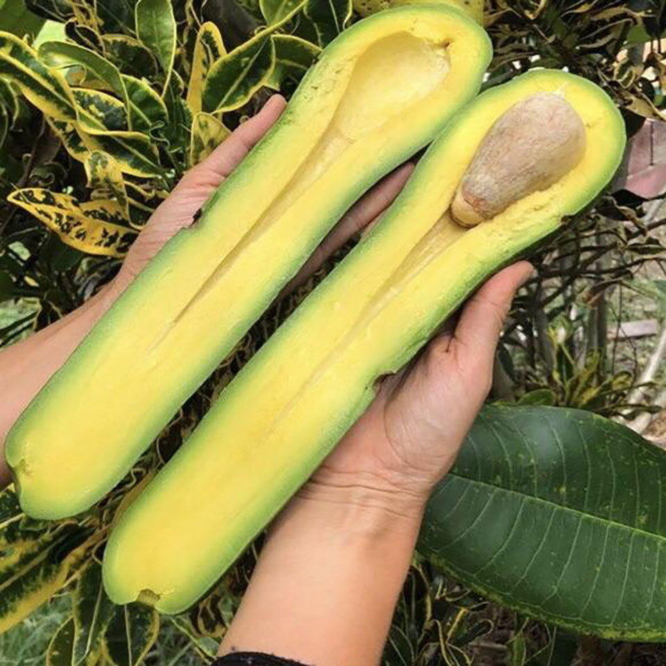 longneck avocado cut open in someone's hands