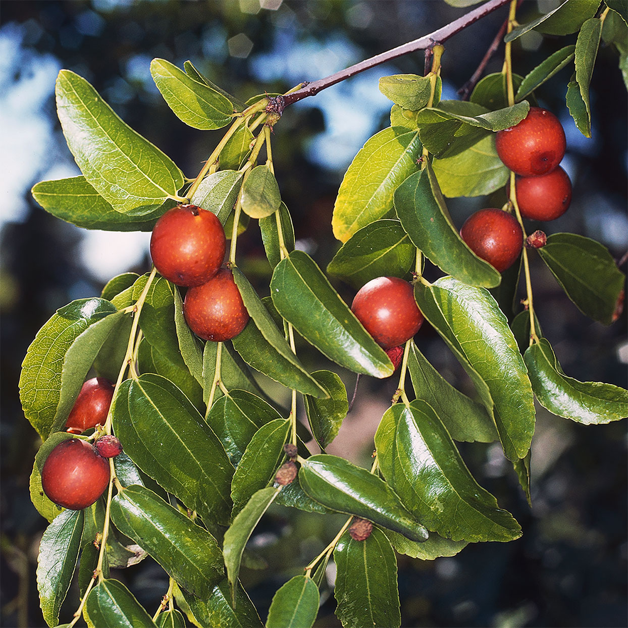 Jujube Fruit on a tree