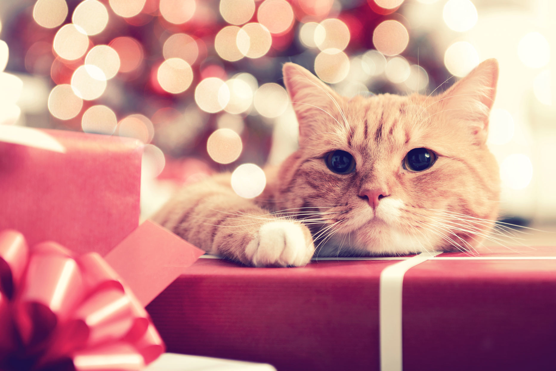 cat laying on a wrapped present with sparkling christmas lights in the background