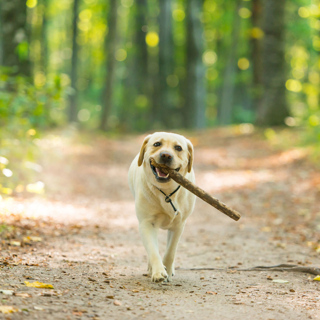 yellow lab carrying a stick and looking happy