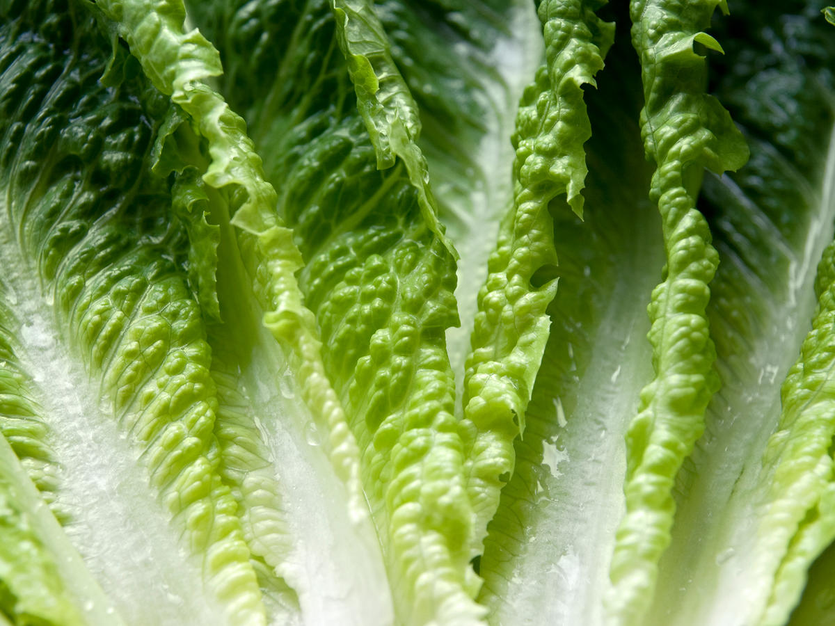 close up of romaine lettuce leaves
